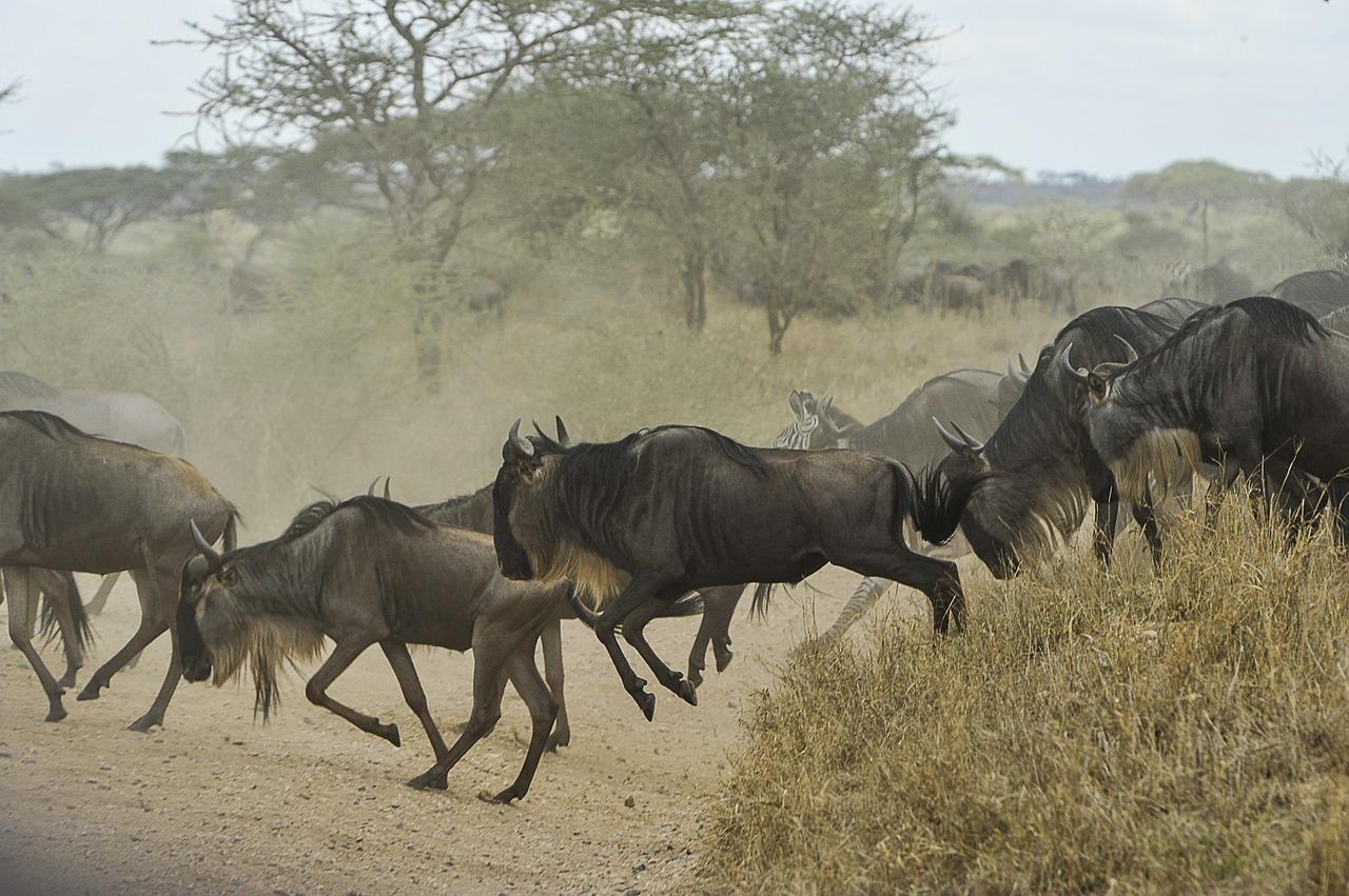 Journey of wildebeest