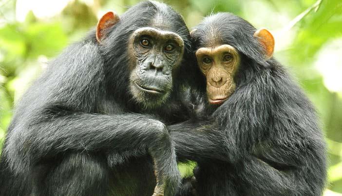 Uganda Birding and Chimpanzee Tracking