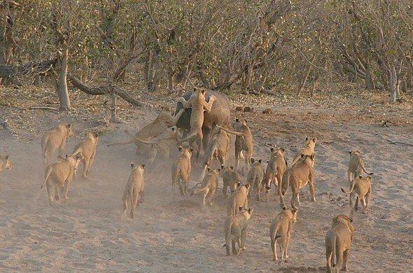 Spotting the Lion at Sanctuary
