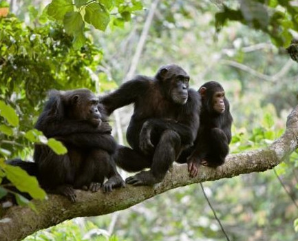 Chimpanzee Habituation at Kaniyo Pabidi