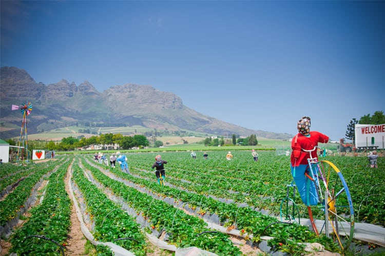 Strawberry Picking at the Mooiberg