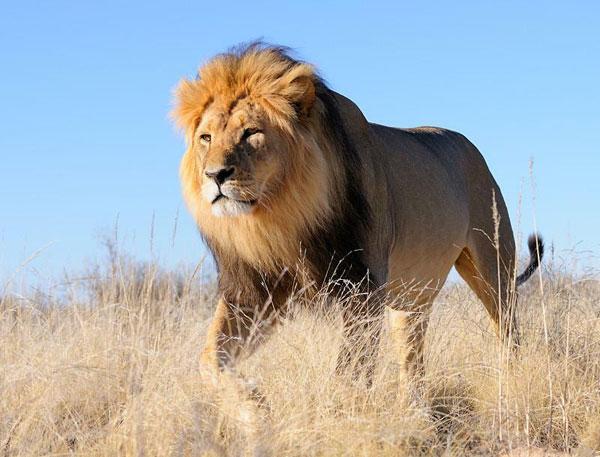 Spotting the Black-Manned Lion