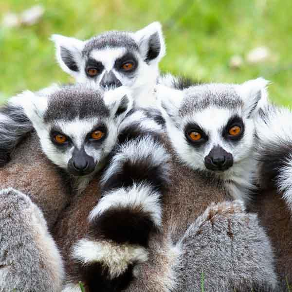 Spotting the Lemur's